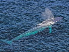 First recording of a blue whale's heart rate